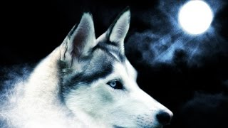 Documentaire Le loup solitaire, Lone Wolf, de Yellowstone