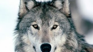 Documentaire Le loup gris
