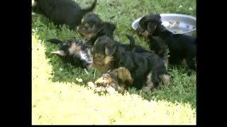 Documentaire Le Yorkshire Terrier