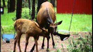 Documentaire Le cerf du Canada