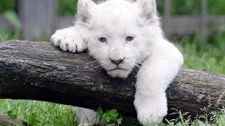 Documentaire animalier // Lion Blanc // ☆ National-Geographic ☆【FR】