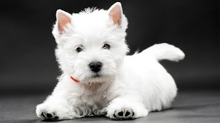 Documentaire Le West Highland White Terrier