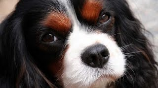Documentaire Le cavalier king charles et le king charles