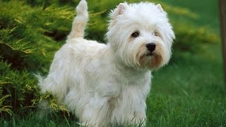 Documentaire Le Westie ou West Highland White Terrier