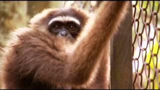 Documentaire Humanima : Vivre au pays des gibbons