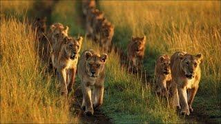 Documentaire Le retour des lions