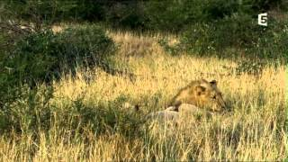 Documentaire Lionnes sachant chasser
