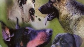 Documentaire Les chiens de gardes : origine, personnalité, éducation