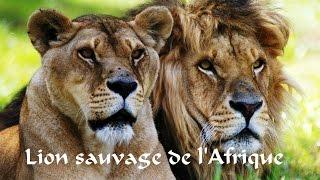 Documentaire Le lion sauvage d'Afrique