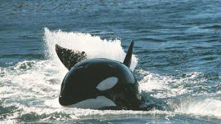 Documentaire Les orques de Crozet : David et les Goliaths