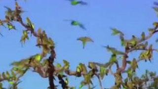 Documentaire Australie, pays des perroquets