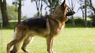 Documentaire Le berger allemand, ce chien racé et harmonieux