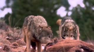 Documentaire Loups : un spectacle grandiose !