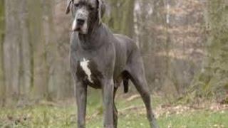 Documentaire Le dogue allemand ou le grand danois