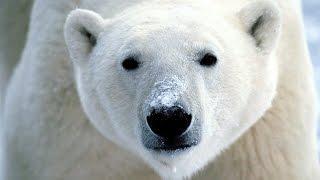 Documentaire Dans la peau d'un prédateur : Pôles