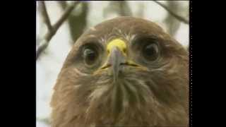 Documentaire Buse et faucon crécerelle
