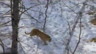 Documentaire Tigres des Neiges