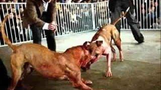 Documentaire Pitbull, le chien qui fait peur, des combats inédits