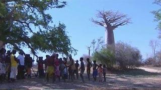 Documentaire Le baobab, géant de la savane