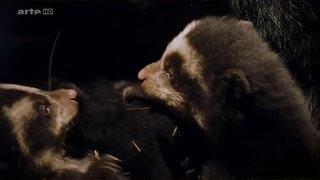Documentaire Les grands animaux d'Amérique du Sud – L'ours à lunettes