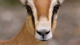 Documentaire Les gazelles Dorcas