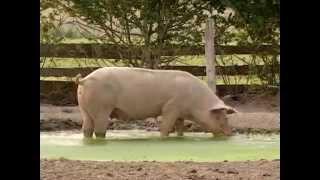 Documentaire Veaux, vaches, cochons… La visite d'une ferme