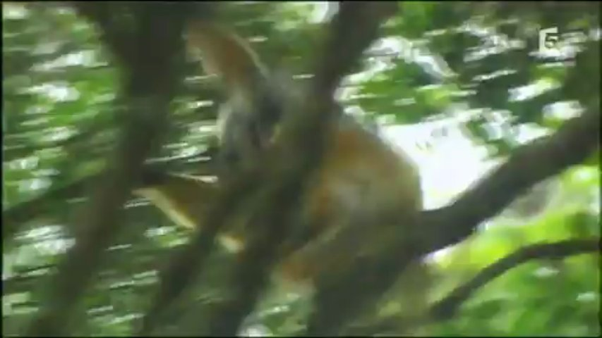 Documentaire Sifaka, drôle d'acrobate