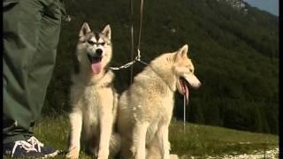 Documentaire Husky Siberien et Malamute d'Alaska
