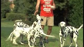Documentaire Le dalmatien