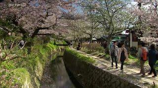 Documentaire Sakura ou le printemps japonais