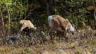Documentaire Les samis, derniers éleveurs de rennes
