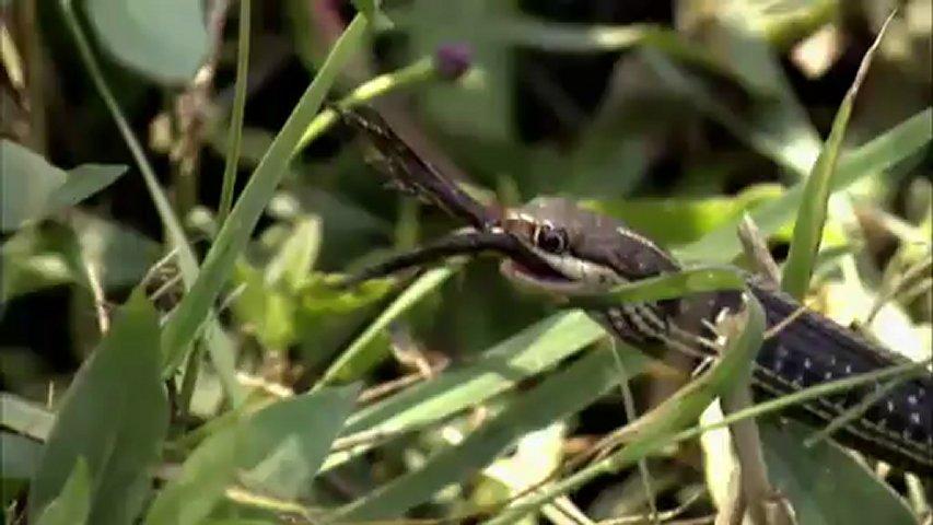 Documentaire Chasseurs de pythons: l'enfumage des pythons