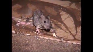 Documentaire Les rats dans la ville de Paris