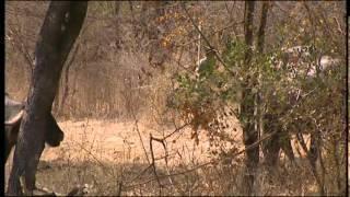 Documentaire Au royaume des lions d'Asie en Inde