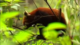 Documentaire Le petit panda de l'himalaya