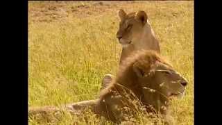 Documentaire Le gardien des lions au Kenya, réserve Maasaï Mara