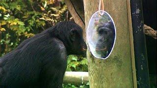 Documentaire Le bonobo – notre cousin ?