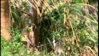 Documentaire Le vervet, le singe vert à la Barbade