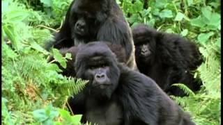 Documentaire Le gorille des montagnes
