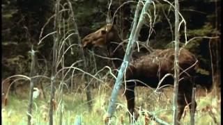 Documentaire L'orignal ou l'élan au Canada