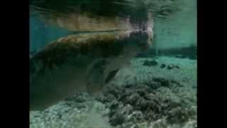 Documentaire Le lamantin en Floride