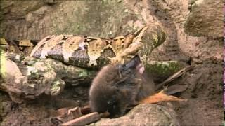 Documentaire Le petit prince des pythons