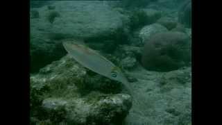 Documentaire Les yeux de la mer au Panama, les calamars