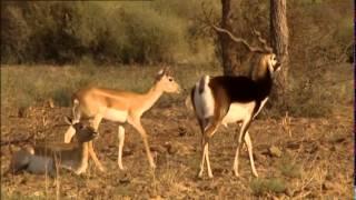 Documentaire Les antilopes sacrées du Thar en Inde