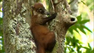 Documentaire La vie secrète des coatis au Guatemala