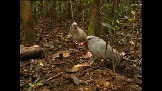 Nouvelle Calédonie - Le cagou huppé
