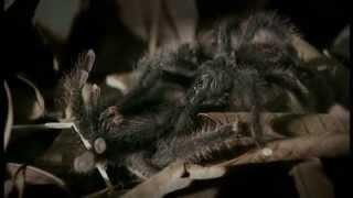 Documentaire La société des araignées – Guyane Française, les Anelosimus