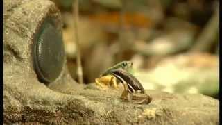 Documentaire Les grenouilles des cimes en Guyane française