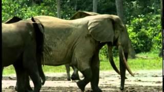 Documentaire Les éléphants du Parc National de Dzanga-Sangha