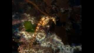 Documentaire L'hippocampe, le cheval de mer